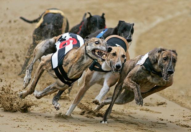 Greyhound-racing-Arizona-4